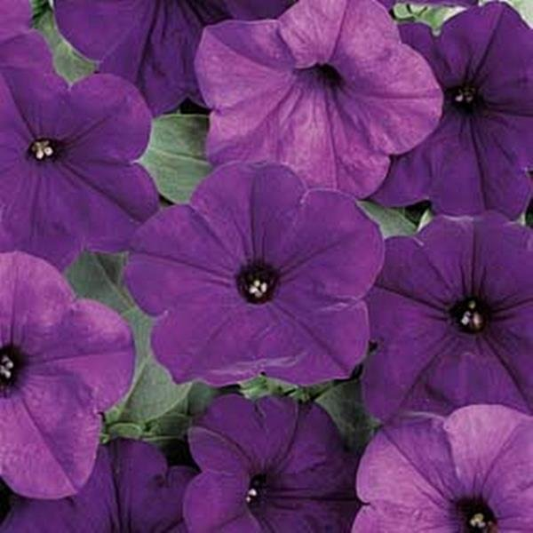 Wave Petunia - DARK BLUE