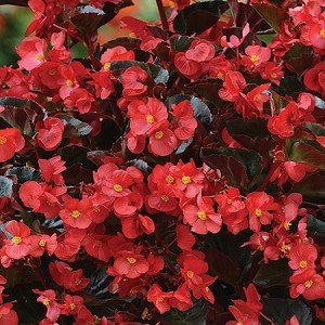 Begonia Bronze Leaf - RED