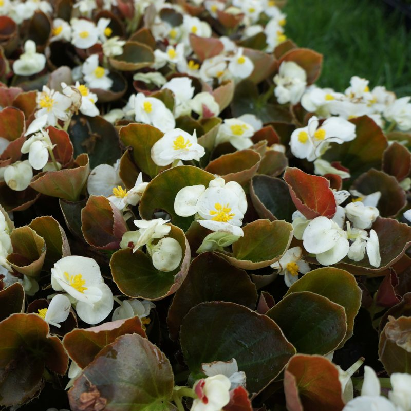 Begonia Bronze Leaf - WHITE