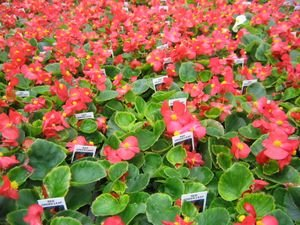 Begonia Green Leaf - RED