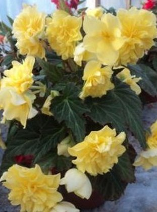 Begonia Tweetie Pie Yellow