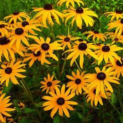 Black Eye Susan (Rudbeckia)