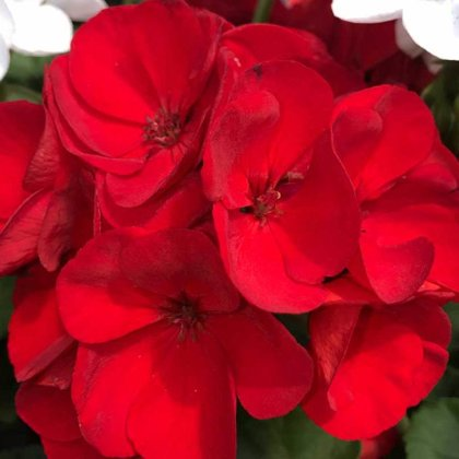 Geraniums with Spike - RED