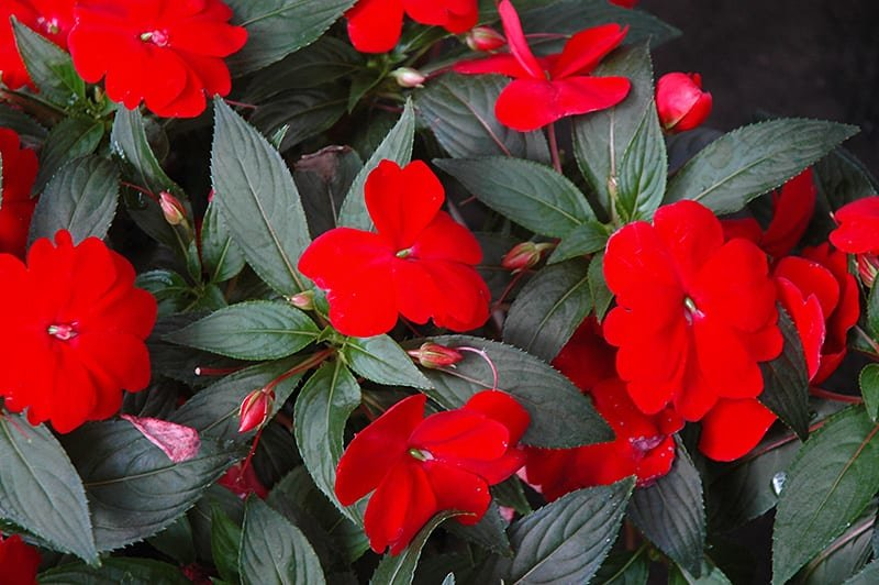 New Guinea Impatiens - RED