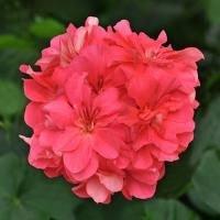 Ivy Geranium - SALMON