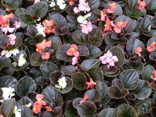 Begonia Bronze Leaf - MIX