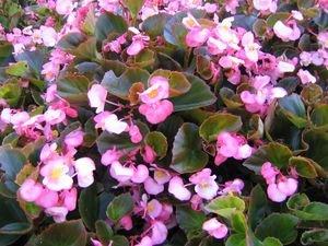 Begonia Bronze Leaf - PINK