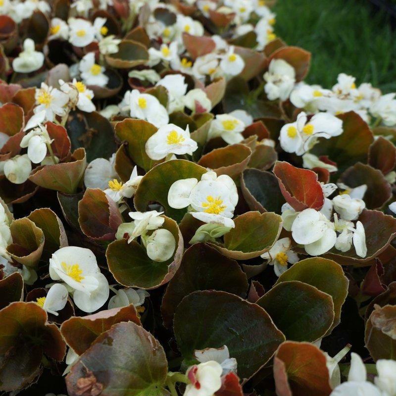 Begonia Bronze Leaf - WHITE