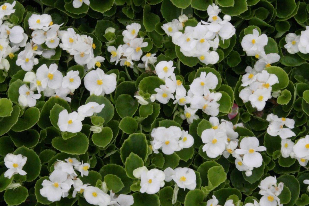 Begonia Green Leaf - WHITE