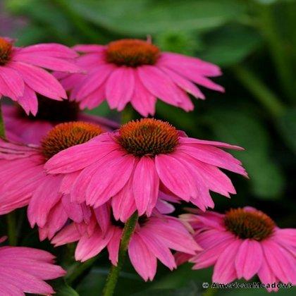 Cone Flower: Bow Wow Wild Berry