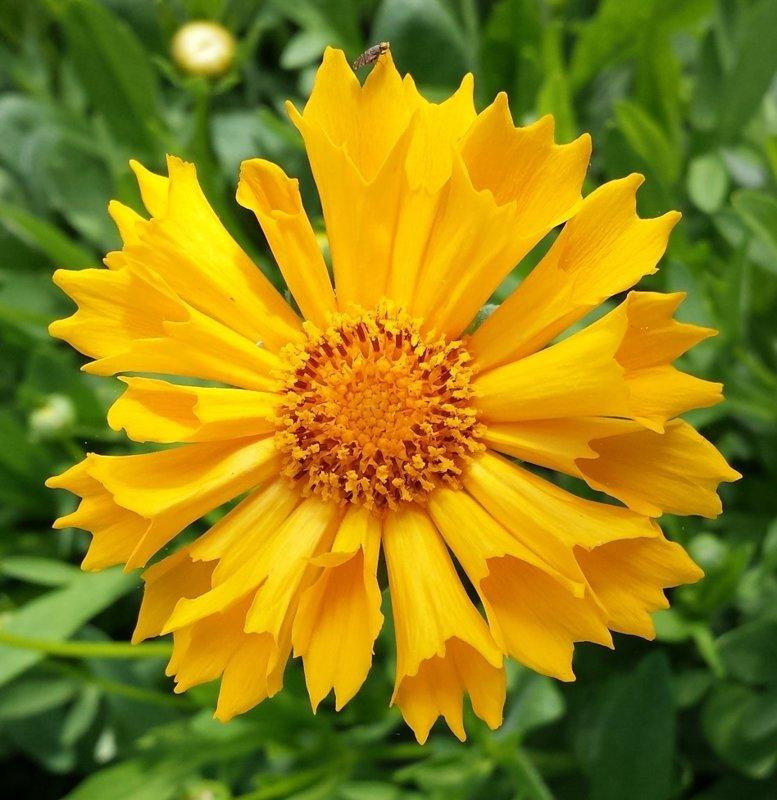 Coreopsis: Jethro Tull Yellow