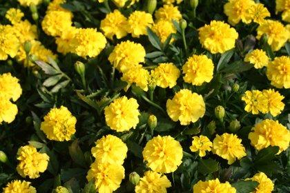 Dwarf Marigold - YELLOW