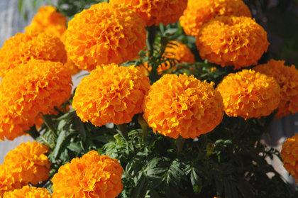 Dwarf Marigold ORANGE