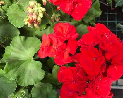 Ivy Geranium Non-Trailing RED