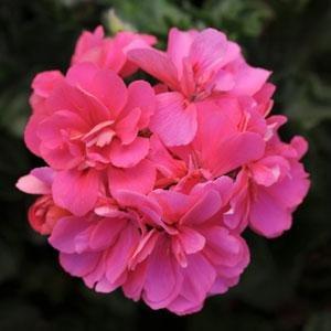Ivy Geranium - PINK