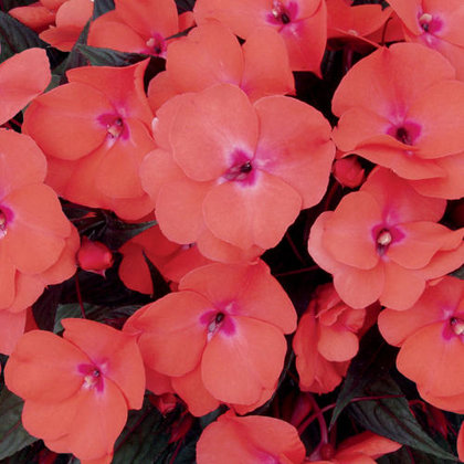 New Guinea Impatiens - SALMON