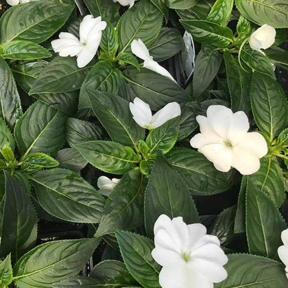 New Guinea Impatiens WHITE