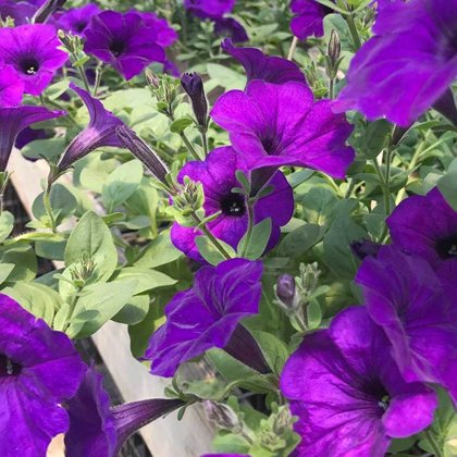 Petunia - BLUE