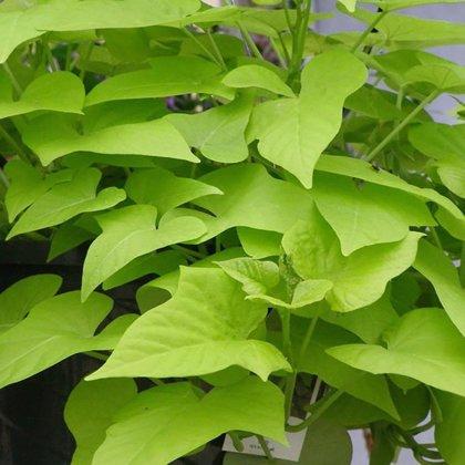 Potato Vine - GREEN