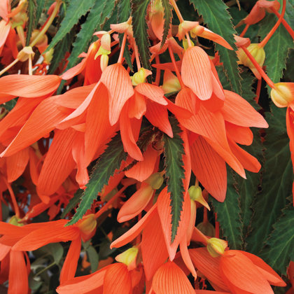 Santa Cruz Sunset Begonia - ORANGE/RED